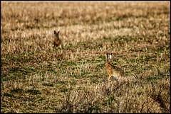 Har-par (Jonas Thomén) Tags: field grass hare linda åker gräs fält mountainhare lepustimidus skogshare stubbåker