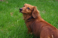 Goldie (WOODSHED Revisited) Tags: dog pet animal gold golden pentax dachshund weiner weenie doxie k30