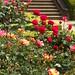Rose Festival @ Kyu Furukawa Garden
