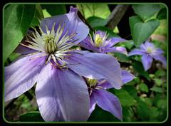 Clematis (karin_b1966) Tags: plant flower nature garden blossom natur pflanze clematis blume blüte garten 2014 kletterpflanze climberplant
