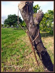 Bacillus rossius. Insetto stecco. (Mario Calia: lucano.) Tags: insetto bacillus stecco rossius