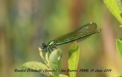 Banded Demoiselle_female FENR 017