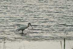 IMG_7176ab (Josette Veltman) Tags: zwolle overijssel spoonbill lepelaar stadshagen watervogel