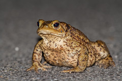 Toad (ashloco24) Tags: canon toad 7d