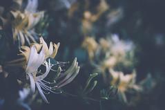 052614 01 (atthecarnival) Tags: flowers plants macro nature digital photoshop lens 50mm sony olympus f18 zuiko mirrorless olympuszuiko50mmf18 nex3n sonynex3n
