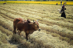 Relax time after harvest time (-clicking-) Tags: field animals cow country harvest vietnam agriculture ricefield countrylife