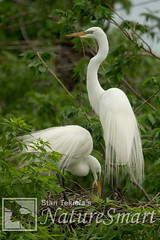 Great Egret pair at nest Tekiela STEK8921.jpg (Stan Tekiela's Nature Smart Wildlife Images) Tags: wild copyright usa nature minnesota birds animals adult nest critter wildlife unitedstatesofamerica egg birding feathers images stockphotos professionalphotographer avian digitalimages nesting stockimages naturalist stockimage greategretardeaalba stantekiela allrightsreservered naturesmartwildlifewordsandimages avianbirdsfeathersbirdingwildlife minnesotaunitedstatesofamericausa stantekielacopyrightallrightsreserveredstockimagepro stantekielacopyrightallrightsreserveredstockimageprofessionalphotographerimageswildlifeanimalsnaturenaturalistwildstockphotosdigitalimagescopyrightcritter