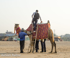To sit or not to sit (asheshr) Tags: beach tourist camel orissa puri camelride puribeach odisha