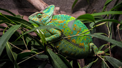 pregnant cham in her most beautiful dress (AnteKante) Tags: green pregnant grn chameleon schwanger chamleon trudna zeleno