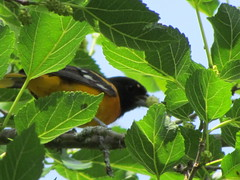 Baltimore oriole ,,the jack pot tree is in full birdie swing! (brian.m.rule241) Tags: blue red food black tree bird robin rose cat turkey cow woodpecker squirrel european jay cardinal wildlife north gray starling baltimore american sparrow cedar fox rabbits winged grosbeak downy source waxwing poll flicker mulberry tanager racoons oriole groundhogs skunks breasted beneficial