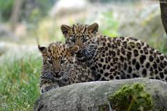 Liski  gauche & Satka  droite (DoddieElodie) Tags: france zoo alsace carnivore mulhouse panthre