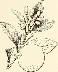 Anglų lietuvių žodynas. Žodis candied citrus peel reiškia citrusinių vaisių žievelės cukruje lietuviškai.