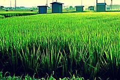 Hut (Kazuo Ishikawa2014) Tags: life morning light sun water rice