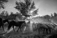 Baño de luz al atardecer / Sunset sunbathe (Alicia Clerencia) Tags: light sunset horses luz contraluz caballos blackwhite tradition dust backlighting tradición polvo sacadelasyeguas2014