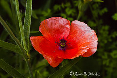 IMG_2235 ( Murielle ) Tags: red flower nature fleur garden rouge poppy coquelicot