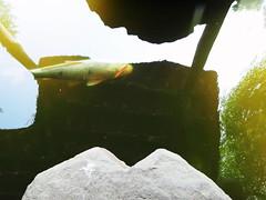 Temple Koi (Codos Traumreisen) Tags: fish himmel zen koi uni bochum garten ruhr rub reflektion karpfen botanischer ruhe