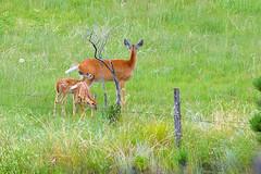 Taken out my window at home (kristi_Nikon_D1X) Tags: southdakota twins backyard deer spots fawn windowview whitetail odocoileusvirginianus