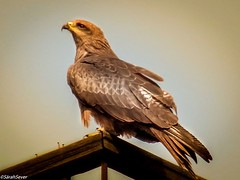 """One golden day redeems a weary year."" Celia Thaxter Proud member of http://ift.tt/VZoiJs BTP Daily Highlight BTP Editor's Choice (Best Top Photographer's page) #BTPBirdPro BTP Bird Pro Rinus Bakker #wcs1 #BIRDS #birdsgallery #birdsofafeather #hqspbirds # (WhyCallSarah) Tags: bird nature beautiful birds proud photography photo cool nice pretty top wing picture feather photographers august pic daily best raptor page falcon pro aviary celia choice member 06 pict highlight bakker animalia avian birdsofprey falconry birdsofafeather btp naturephotography editors 2014 rinus naturephotos birdphotography birdsgallery wildlifephotography birdwathching birdsociety 1215am birdportraits thaxter wcs1 birdpoker promotephotography birdsinfocus birdsinfocusfriday birds4all birdloversworldwide hqspbirds wwwbesttopphotographercom btpbirdpro onegoldendayredeemsawearyyear 100000photographers 100000photographersaroundtheworld birdloversandwildlife bestongphotography"