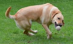 Attrape ! (Alexis Pelletier) Tags: pets dogs nature ball labrador ballon animaux ballade chiens jeux