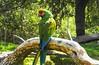 Guacamayo Verde (copito_m) Tags: naturaleza nature animal nikon animales mywinners abigfave aplusphoto