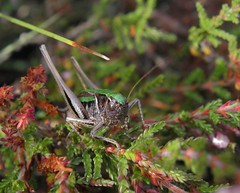 Bog bush cricket (rockwolf) Tags: insect shropshire heather cricket orthoptera rockwolf bogbushcricket metriopterabrachyptera greenform lowlandraisedbog wemmoss