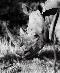Rhinoceros (Zsuzsa Por) Tags: africa animal southafrica wildlife safari animalplanet rhinoceros pilanesberg coth wildlifephotography wildlifeafrica canonistas canoneos7d coth5 canonef70200mmf28lisusmii canonextender14xiii