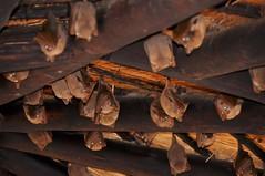 Bats at restaurant in Kruger (stevelamb007) Tags: africa wildlife south bat krugernationalpark