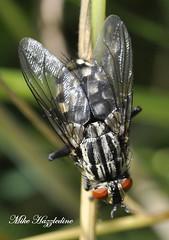 FLY 017 .. The Flesh Fly (Mike Hazzledine -- British Biodiversity) Tags: insect invertebrate diptera sarcophagacarnaria fleshfly meatfly trueflies