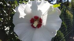 Hibiskus... (fr@nzel2104) Tags: samsung note blte hibiskus weis note3 smn9005
