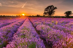 Lavender Field - Somerset (Twogiantscoops) Tags: flowers sunset wild summer southwest west nature field photoshop canon landscape golden evening flora farm country somerset farmland lee crop oil 5d filters 1740mm starburst manfrotto westcountry 2014 frome cpfilter lavenderfield countryfile leefilters iplymouth twogiantscoops