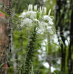 Cleome spinosa (Jardin Boricua) Tags: flower whiteflower flor cleome florblanca cleomespinosa