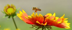 DSC_0498 (sylvette.T) Tags: nature bee abeille 2014 greatphotographers nikond5100 objectifsigma70200