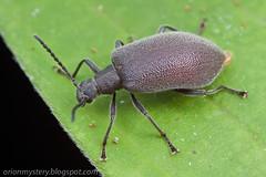 Tenebrionidae IMG_8429 copy (Kurt (OrionHerpAdventure.com)) Tags: beetle coleoptera darklingbeetle tenebrionidae tenebrionid darkling coleopteran tropicalbeetles