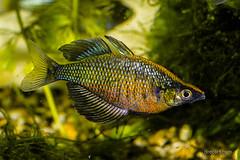 fish aquarium rainbow glossolepis drecart wanamensis