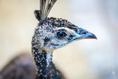 This little peacock kept following me (G. Cordeiro) Tags: bird nature fauna peacock aves avian oiseaux birdpark
