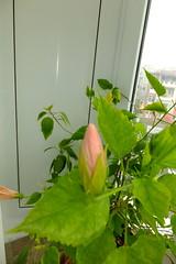 trandafjapon-vitan2014_0817_002712 (CrisMali) Tags: orange hybiscus