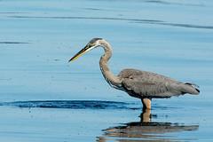 Great Blue Heron (Digital Biology) Tags: heron washington bainbridgeisland greatblueheron ardeaherodias