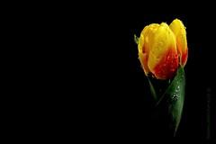 light verde luz drops gotas amarillo smartphone tulip... (Photo: Ana López Heredia on Flickr)