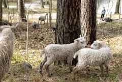 Sheep (Xerethra) Tags: nature animal 35mm geotagged spring nikon sheep sweden natur may lamb sverige maj vår får djur järfälla lamm 2013 görväln stockholmslän nikond80 dikartorp järfällastockholmslänsverige