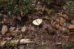 Mushroom in autumn (Elise de Korte) Tags: autumn france mushroom automne mushrooms bomen country herfst boom autumnleaves val frankrijk paddenstoel bos fr campagne champignon paddestoel paddestoelen lafrance champignons boswandeling platteland bossen bladeren herfstblad herfstkleur herfstbladeren lesfeuillesmortes ldf autumnleave
