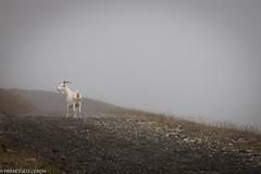 Dove osano le capre (Francesco   Ceron) Tags: fog flickr nebbia montagna marmolada capra escursione canonpowershotg15 fotofrancescoceron
