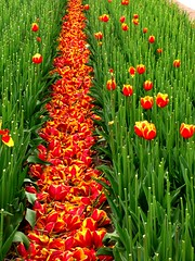 IMG_8507 Tulpen gemäht (Traud) Tags: holland tulips blumen bulbs niederlande egmond tulpen flowerbulbs blumenzwiebeln köpfen mähen tobehead toreap