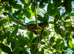 Mono frara (faltimiras) Tags: park parque black peru rio river gris monkey mono martin eagle turtle negro selva cocodrilo national jungle lobo tortuga delfin parc nacional negre pescador amazonas papagayo reserva tucan riu aguila pacaya perou cocodrile dolfin fraile cocodril llop amazones frara perezoso marr papagall samiria dof