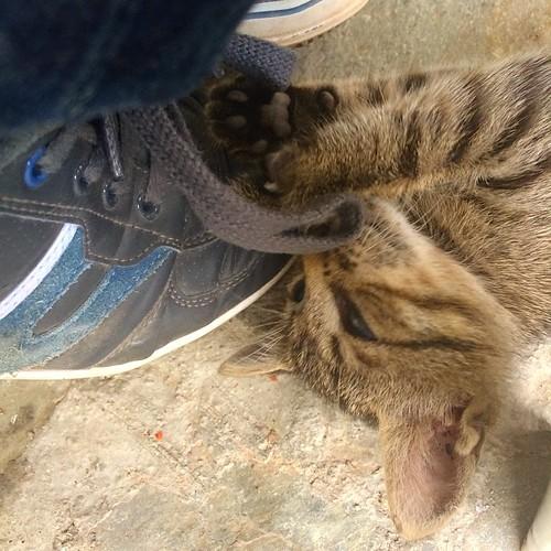 Aujourd'hui pendant le déjeuner, un chaton s'est épris d'amour pour mes lacets...