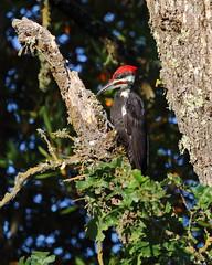 Pileated Woodpecker (Don McCullough) Tags: california bird tongue canon sonomacounty santarosa springlakepark pileatedwoodpecker 5dmarkiii