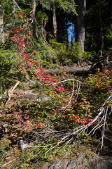 (dkrish) Tags: red fall sony olympicnationalpark colorsoflife rx100