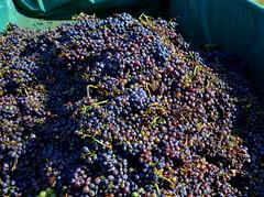 Verema de Sumoll. Vilafranca del Peneds. (Angela Llop) Tags: spain eu catalonia vineyards grape penedes vinyes
