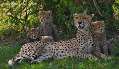 Cheetah with her cubs in the Masai Mara! (WhiteEye2) Tags: africa cute kenya wildlife safari cheetah bigcats masaimara cheetahcubs babyanimals