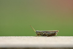 Grasshopper (Moschell) Tags: park summer insect indiana september grasshopper local fishers 2014 moschell cyntheannepark