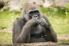 2015-05-14-14h22m10.BL7R2836 (A.J. Haverkamp) Tags: canonef100400mmf4556lisusmlens frankfurtammain hessen germany dob01011964 pobinthewildcongo gorilla westelijkelaaglandgorilla frankfurt dierentuin zoo httpwwwzoofrankfurtde jule julchen dod27062016 podfrankfurtgermany